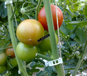 Clips tomate biodégradables x500