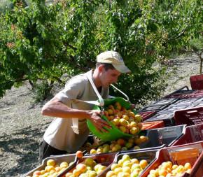 Panier de récolte Kangourou