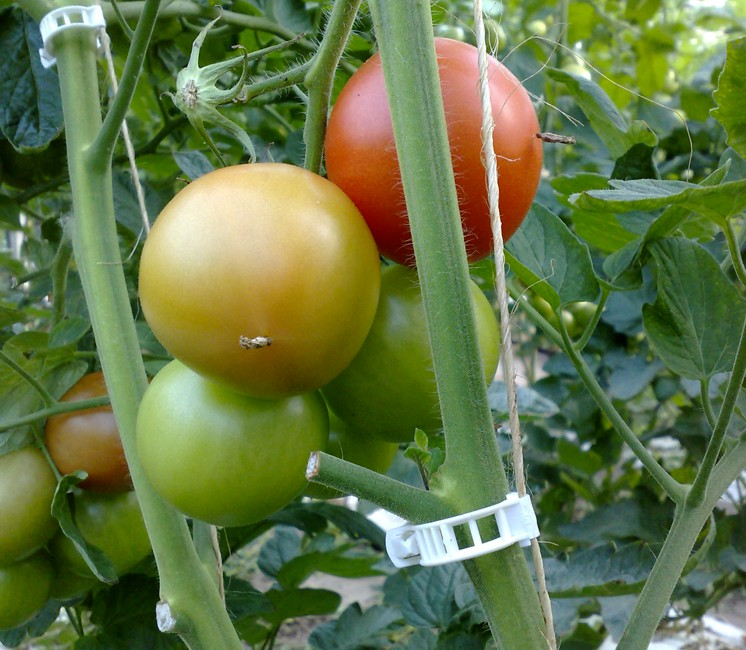 Clips tomate